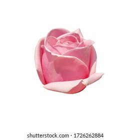 Pink rosebud isolated on a white background