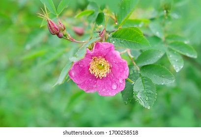 pink rosehip in raindrops. Natural background with rosehip flower and drops after the rain.