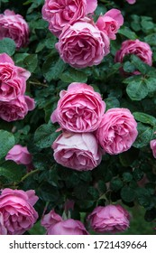 Pink roses after the rain