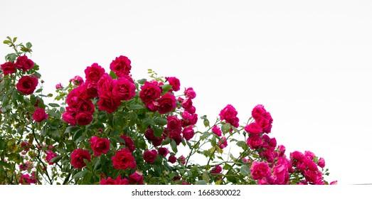 Pink roses against .Summer background.