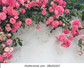 pink roses against a white wall with copy space