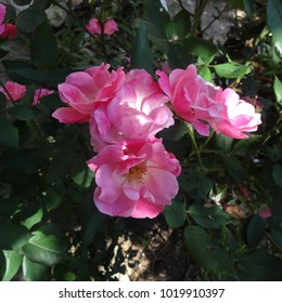 Pink Roses in Bloom