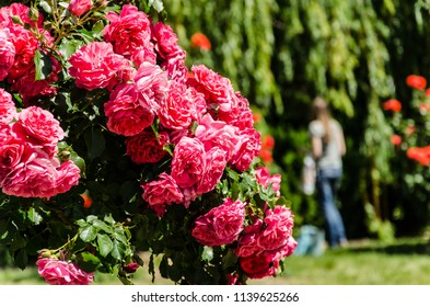 Pink roses bush with girl in blurred green tree background, walk in rose garden