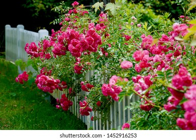 Pink roses climbing along white picket fence, deliberately blurred in front with focus in middle. Chatham (Cape Cod), Massachusetts. Horizontal.
