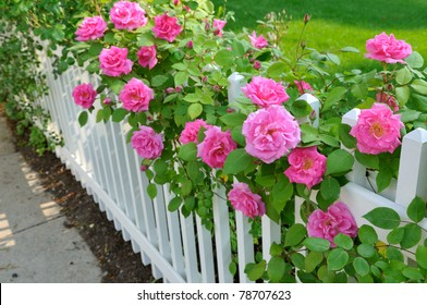 Pink roses climbing on white fence