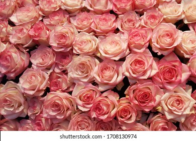 Pink roses Close up Background