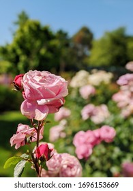 Pink roses in country garden