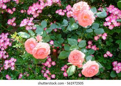 Pink roses in English garden