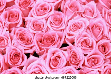 Pink roses. Flower of love. Valentines day. Pastel flower. Abstract background.