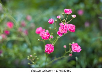 pink roses in the garden, green background