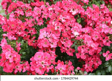 """Pink roses (grade """"Stadt. Rom"""", Rosen Tantau, 2007) in Moscow garden. Buds, inflorescence of flower closeup. Summer nature. Postcard with pink rose. Roses blooming. Pink flowers, rose blossom. Photo - Shutterstock ID 1784429744"""