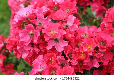 """Pink roses (grade """"Stadt. Rom"""", Rosen Tantau, 2007) in Moscow garden. Buds, inflorescence of flower closeup. Summer nature. Postcard with pink rose. Roses blooming. Pink flowers, rose blossom. Photo - Shutterstock ID 1784495321"""