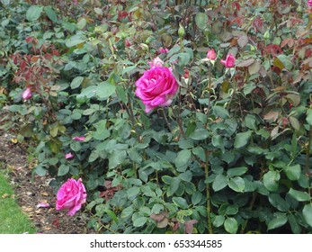Pink roses and greenery on the grounds of Hever Castle in England. The United Kingdom.