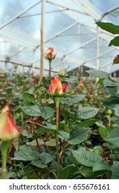 Pink roses in a greenhouse in a rose farm in Tabacundo, Ecuador