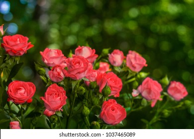 Pink roses on fresh green leaf background and bokeh blure with shallow depth of field. Soft focus.