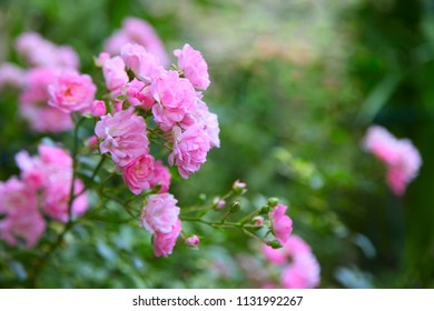 pink roses on a green background