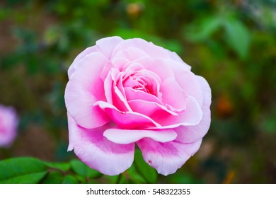 Pink roses. Pai. Blurred background.