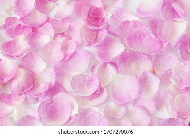 Pink Roses petals background closeup background