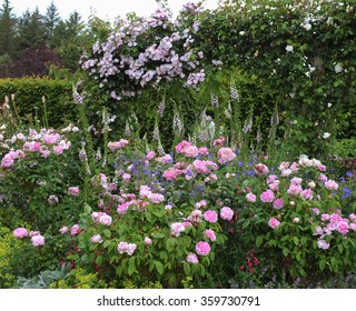 Pink Roses (Rosa) and Foxgloves (Digitalis) in an English Country Cottage Rose Garden in Devon, England, UK