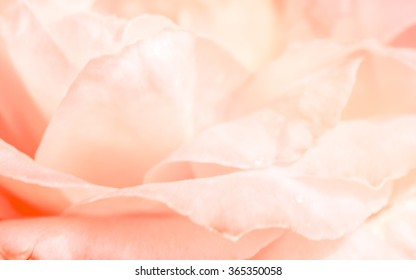 Pink roses in soft pastel color and blur style for background