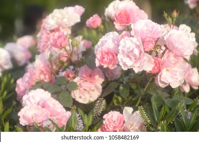 Pink Roses in the Springtime