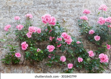 pink roses at a stone wall of an old cottage