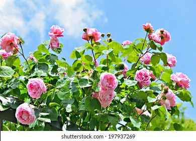 pink roses under sun with blue sky