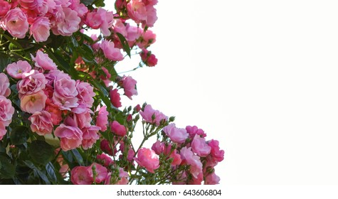 pink roses and white background