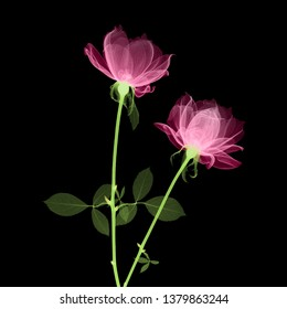 Pink roses X-ray - colorized on black.