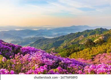 Pink royal azalea blossoms on Hwangmaesan Mountain near Hapcheon-gun, Korea.