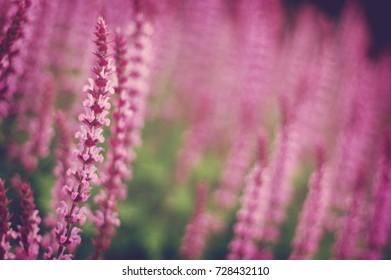 Pink Sage Flowers