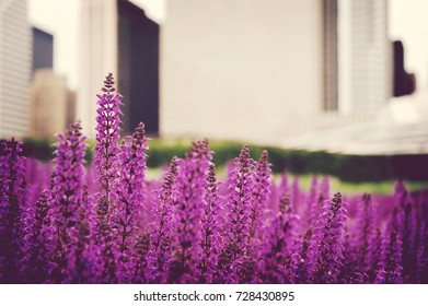 Pink Sage in Front of Cityscape