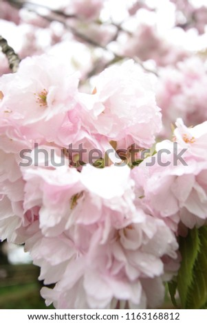 Pink Sakura Background real