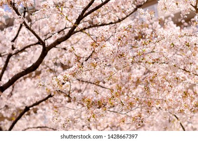 Pink sakura flower bloom in spring season.