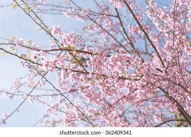 Pink sakura flower, Cherry blossom ,Himalayan cherry blossom, soft focus