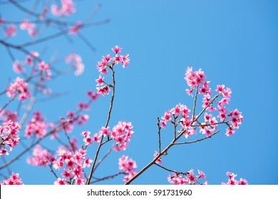 Pink Sakura flower thailand blooming.