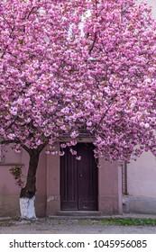 Pink sakura (flowering cherry) blossom tree in front of the building door in Uzhgorod, Ukraine