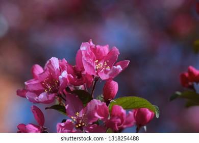 pink sakura flowers,