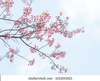 фотообои pink sakura flowers, beautiful Cherry Blossom in nature with blurry background