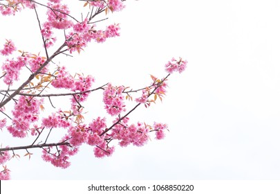 pink sakura flowers, beautiful Cherry Blossom in nature with blurry background
