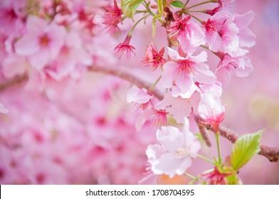 pink sakura japan sky background