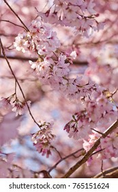 Pink Sakura Japanese cherry blossoms in full bloom in early spring in New Zealand