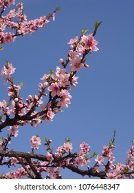 Pink Sakura and sky background