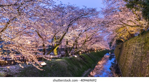 Pink sakura trees (Cherry Blossom) at dusk at Kanazawa Castle Park in panoramic landscape view