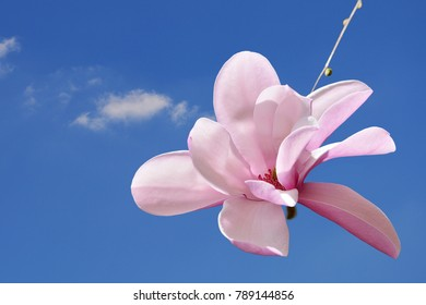 Pink saucer magnolia flower macro against the blue sky,  (Magnolia soulangeana)