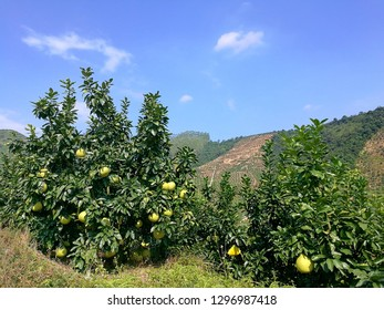 Pink seedless Guanxi Honey Pomelo on tree at Pomelo garden on the mountain with clear blue sky in China.