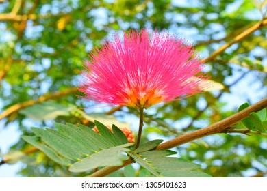 A Pink Siris Flower.