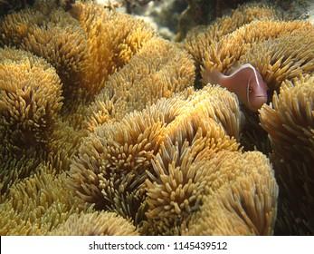 Pink skunk clownfish in amazing sea anemone