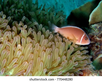 Pink skunk clownfish in magnificent sea anemone, Koh Chang, Thailand, Underwater photograph