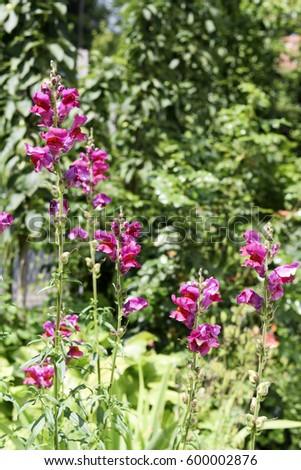 Pink Snapdragon Flower Garden Pink Dragon Stock Photo Edit Now